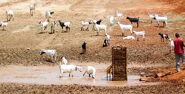 Goats and humans stranded at an empty water pan in Kitui, Kenya.